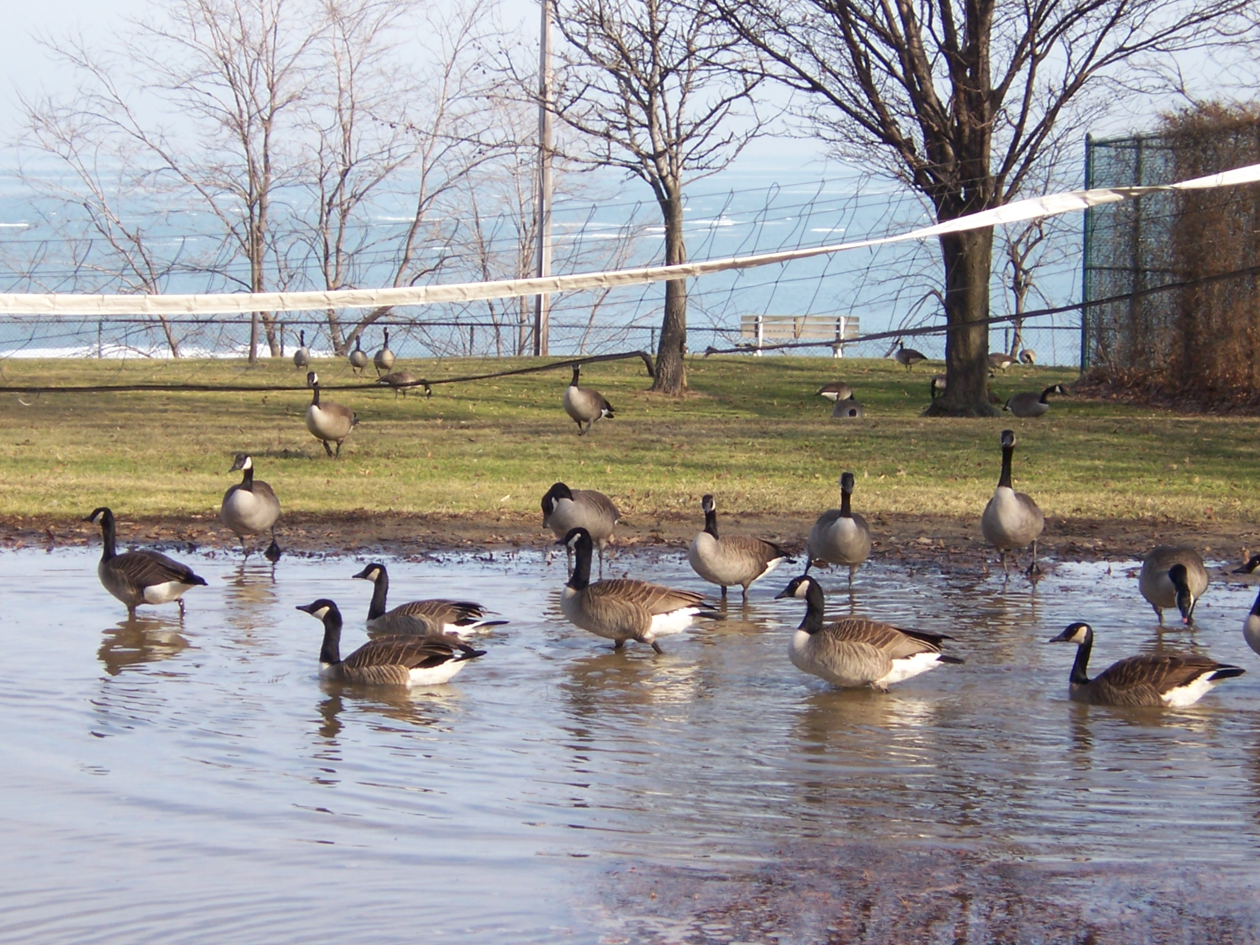 effects of goose on your pond ohio geese control