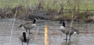 Geese walking on water? No, they are walking on the frozen pond.