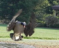 Canada geese become aggressive during nesting season