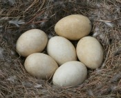 Canada geese will typically lay 6-12 eggs