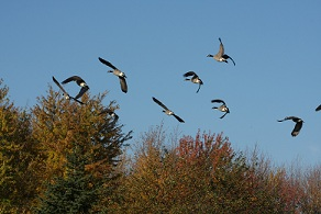 Canada geese during migration season