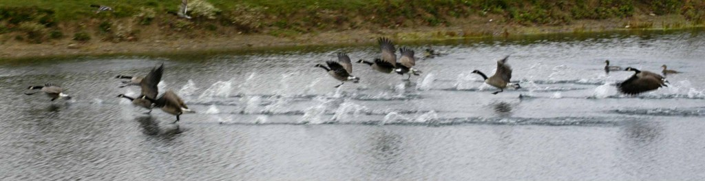 Canada geese migration patterns