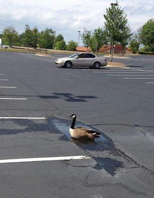 Issues with Canada geese in parking lots